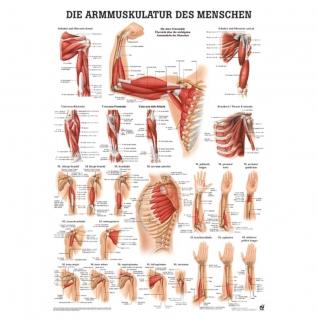 """Poster """"Armmuskulatur des Menschen"""""""