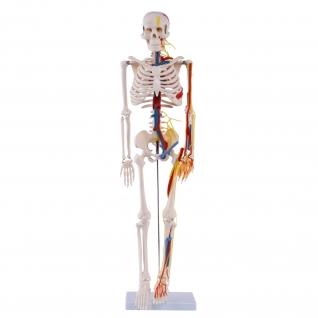 Medi-Skelett mit Nerven