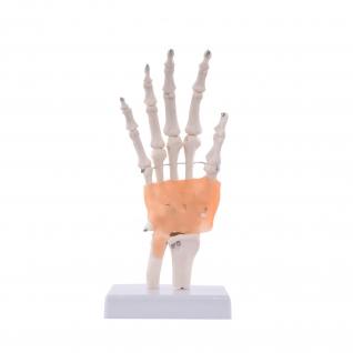 Anatomisches Hand-Modell