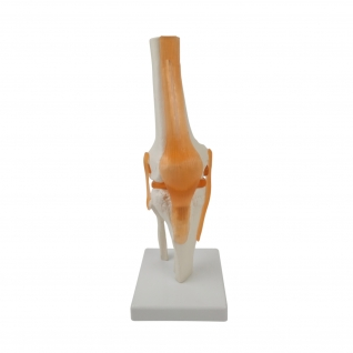Anatomisches Knie-Modell mit Bändern