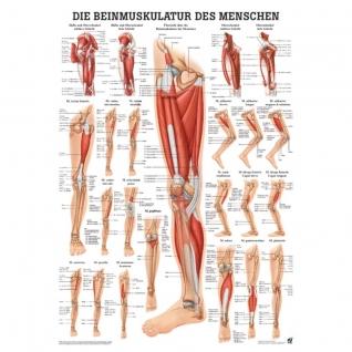 """Poster """"Beinmuskulatur"""""""