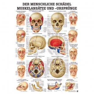 """Lehrtafel """"Der menschliche Schädel, Muskelansätze und Ursprünge"""""""