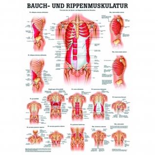 """Poster """"Bauch- & Rippenmuskulatur"""""""