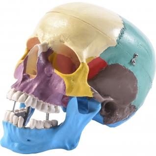Menschlicher Schädel farbig