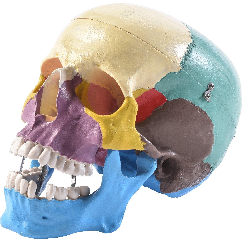 PhysioExpressNord Shop | Menschlicher Schädel farbig | online ...
