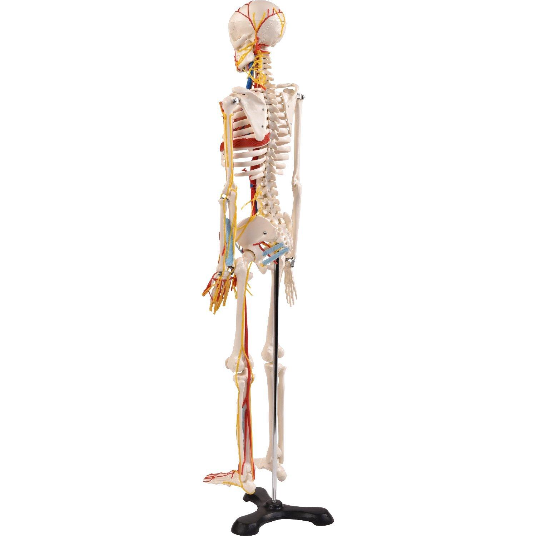 Erfreut Tragen Skelett Anatomie Galerie - Anatomie Von Menschlichen ...