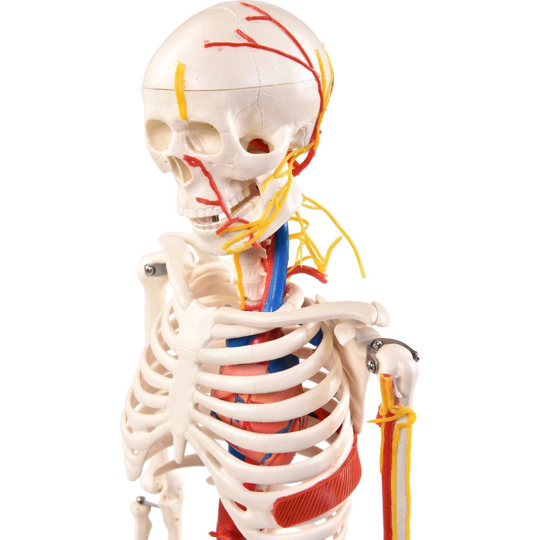 PhysioExpressNord Shop | Medi-Skelett mit Nerven | online Shopping ...
