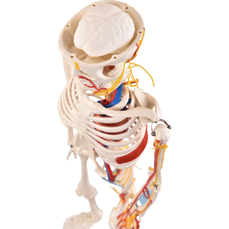Berühmt Anatomie Und Physiologie Skelett Bilder - Menschliche ...