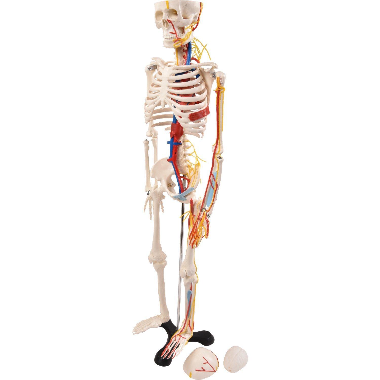 Tolle Anatomie Und Physiologie Skelett Labor Ideen - Anatomie Ideen ...