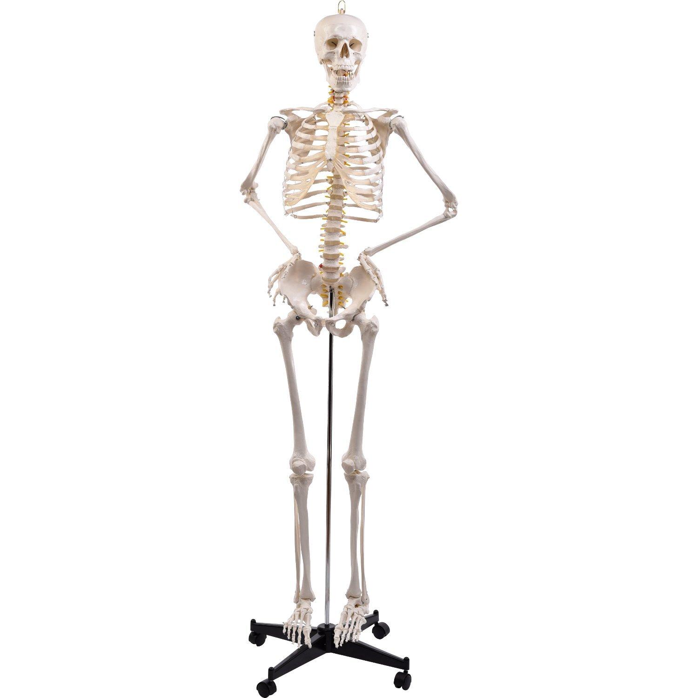 PhysioExpressNord Shop   Menschliches Skelett   online Shopping für ...